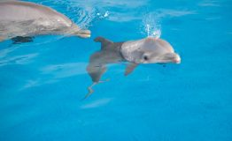 AcquariodiGenova piccola delfina nuota con la mammaWEB_4119049