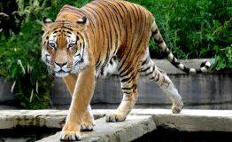 tempio delle tigri__7805056